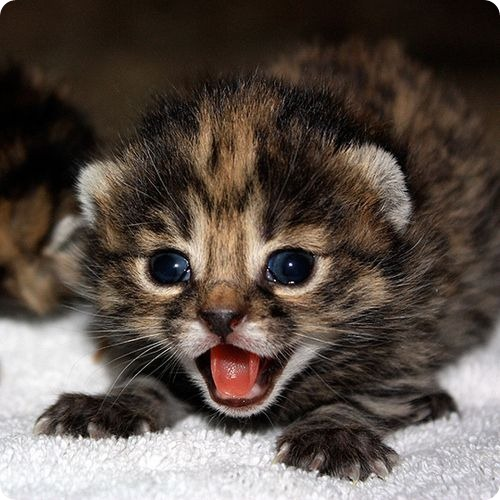 Маленький черноногий котёнок