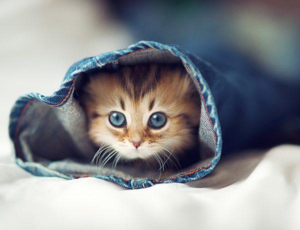 Маленький голубоглазый котёнок в джинсовой штанине