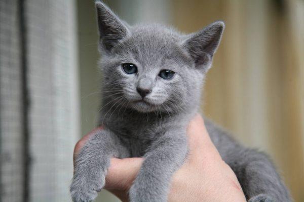 маленький голубой котёнок в руке человека