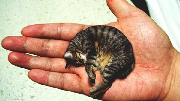 Маленький кот Мистер Пибллз на ладони