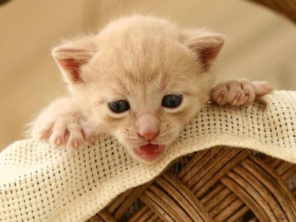 Маленький котёнок палевого окраса