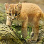 Маленький котёнок золотистой азиатской кошки