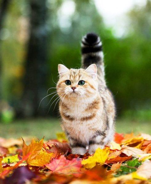 Котёнок манчкина