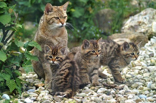 Мать с котятами