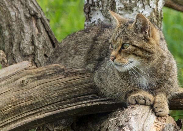 Место обитания европейского кота