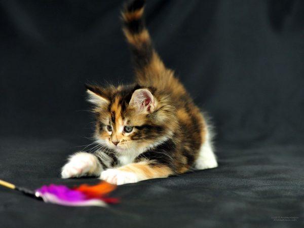 Котёнок играет с пёрышком