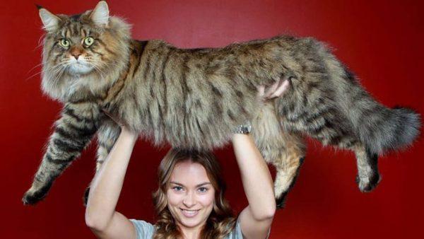 мейн-кун тигрового окраса на руках девушки