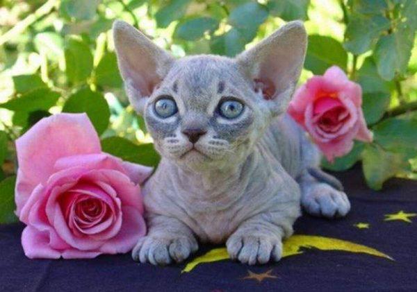 Котёнок минскина