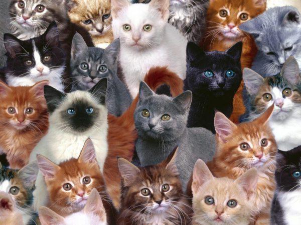 Много кошек разных пород и расцветок