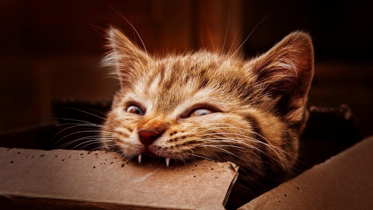 Особенности смены молочных зубов у котят
