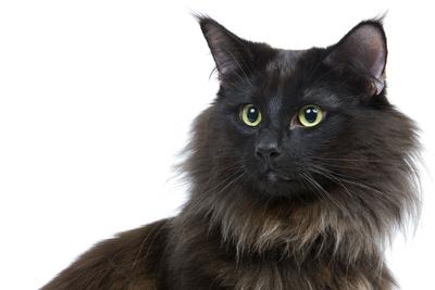молодая чёрная норвежская кошка с зелёными глазами