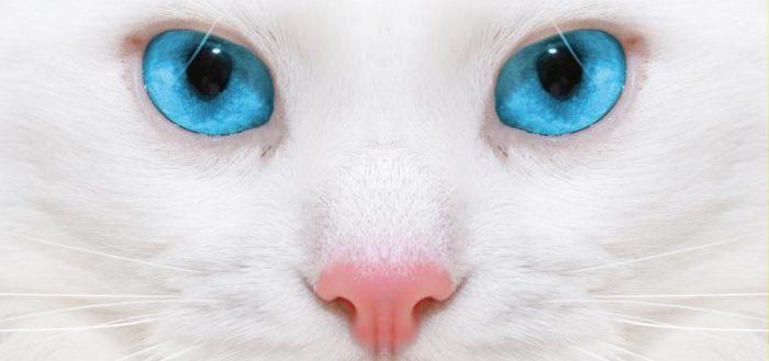 морда белой голубоглазой кошки