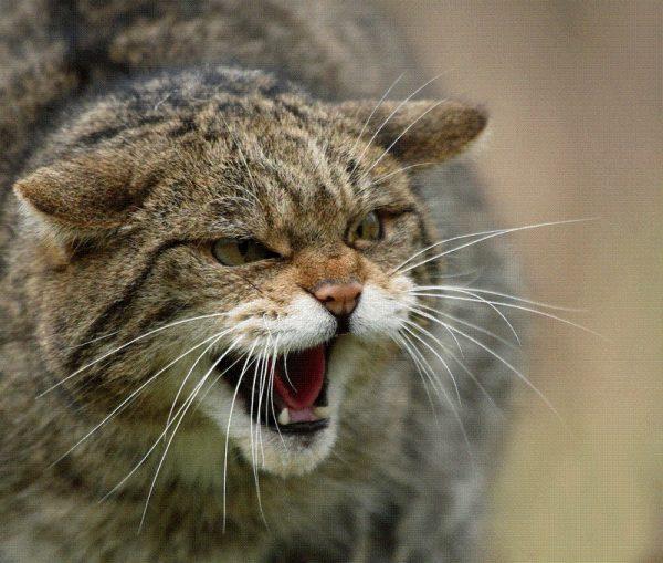 Морда дикого европейского лесного кота