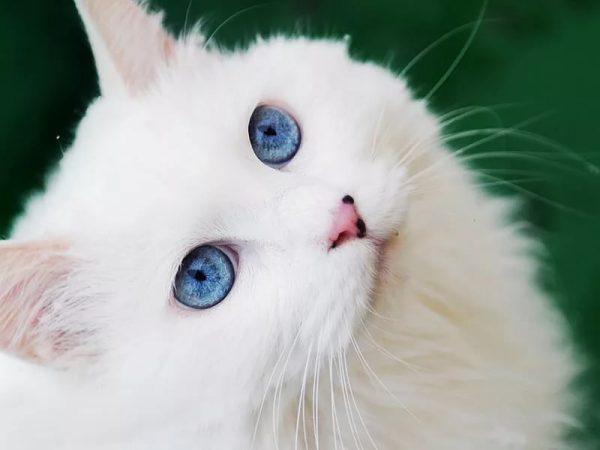 морда голубоглазой ванской кошки