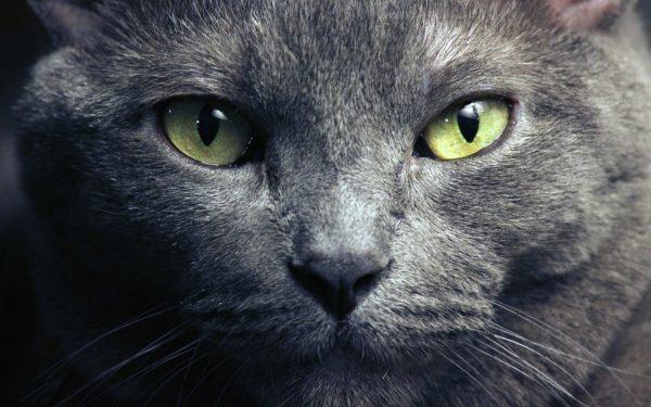 морда голубого кота крупным планом