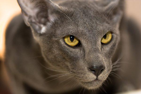 Морда ориентальной кошки с жёлтыми глазами крупным планом