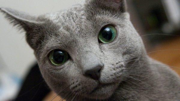 морда русской голубой кошки с зелёными глазами