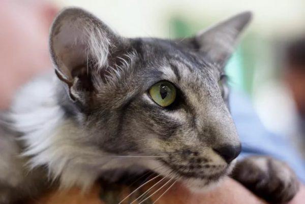 Морда серого ориентального кота
