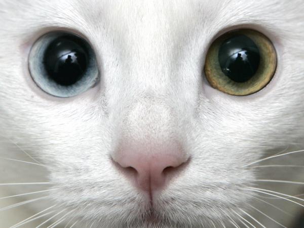 морда ванской кошки с разными глазами крупным планом