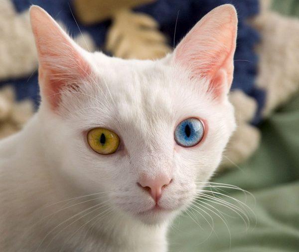 Мордочка ангорской кошки