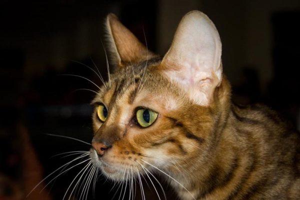 мордочка кошки породы тойгер крупным планом