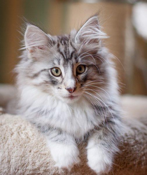 мраморный котёнок норвежской кошки