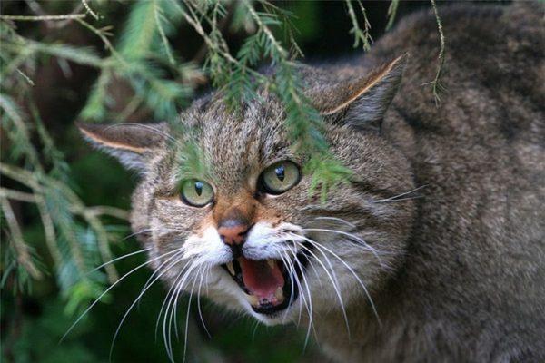 Мяукающий лесной кот