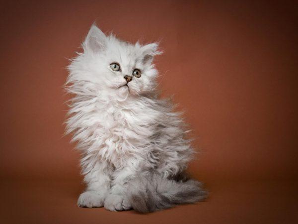 Светлый котёнок селкирк на коричневом фоне