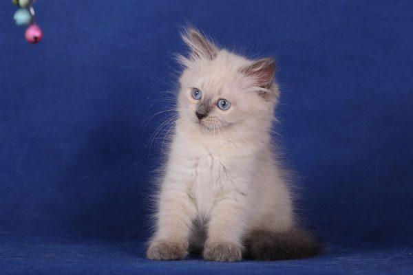 Невский маскарадный котёнок смотрит на погремушку