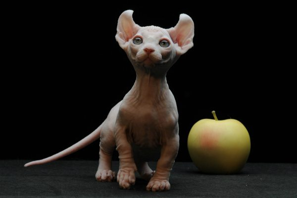 котёнок эльфа и жёлтое яблоко на чёрном фоне