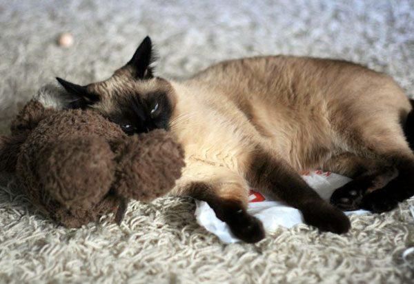 Тайская кошка спит на пакете и плюшевом медведе
