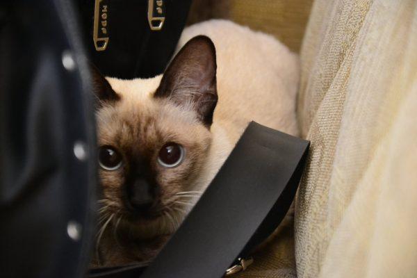 Тайская кошка прячется среди вещей
