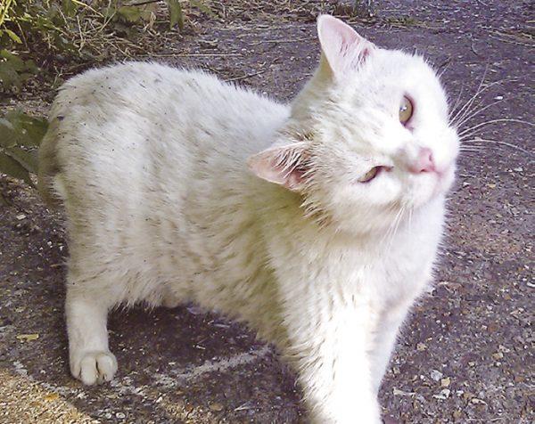 Наружный отит у кошки