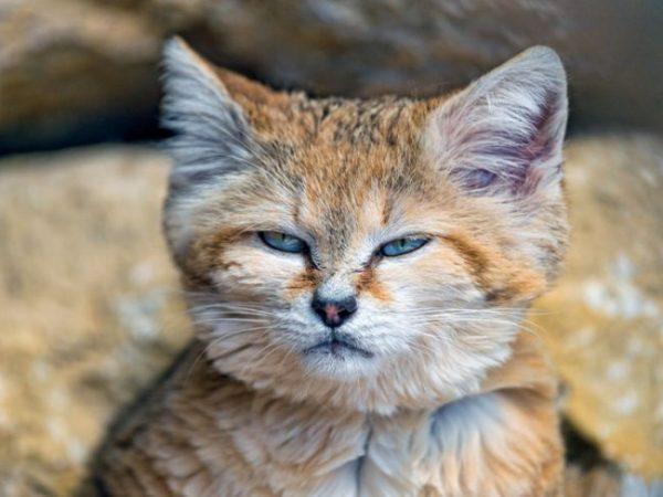 недовольная морда барханного кота