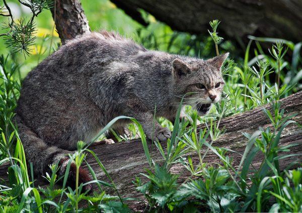 Недружелюбный лесной европейский кот