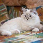 Невская кошка с окрасом сильвер-пойнт