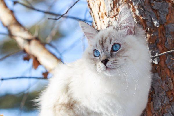 Невская маскарадная кошка на дереве