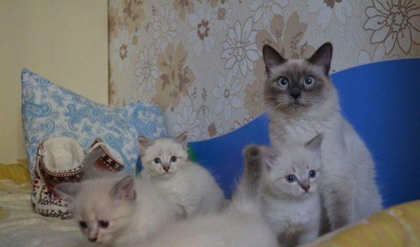 Невская маскарадная кошка с котятами