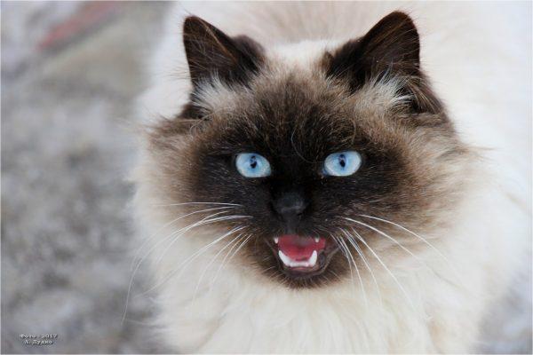 Невский кот с открытой пастью