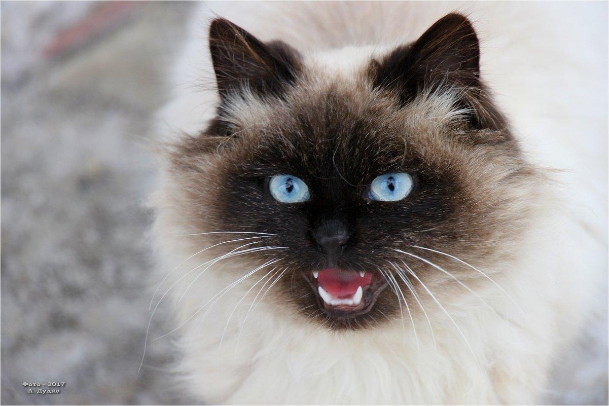 Порок сердца у кошек контрасекс
