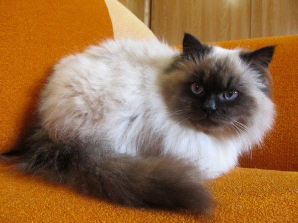 Невский маскарадный кот на рыже-коричневом диване