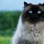 Невский маскарадный кот с чёрной мордочкой