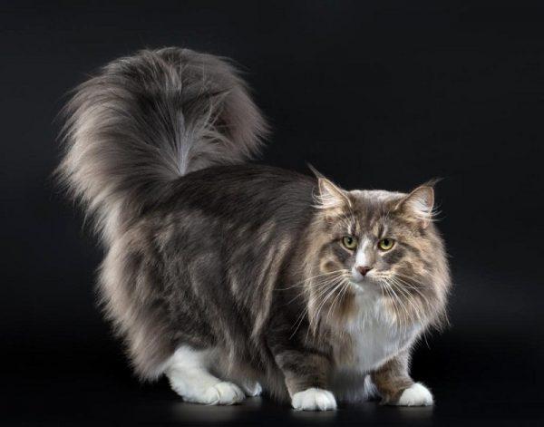 норвежская кошка с поднятым вверх хвостом