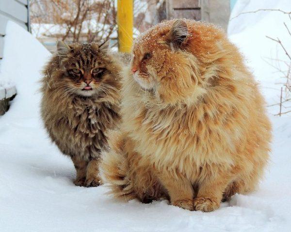Норвежские лесные кошки на фермерском дворе