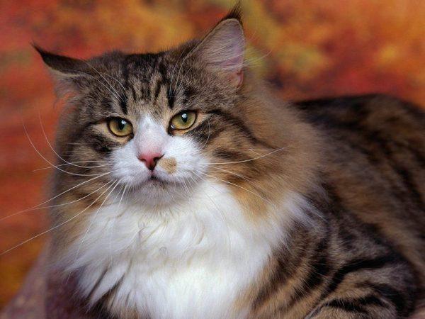 норвежская лесная кошка с «тигровым рисунком»