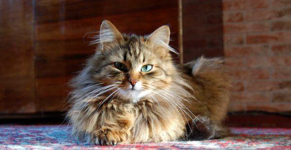 норвежская лесная кошка с бирюзовыми глазами