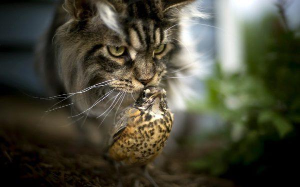 Норвежский кот охотится