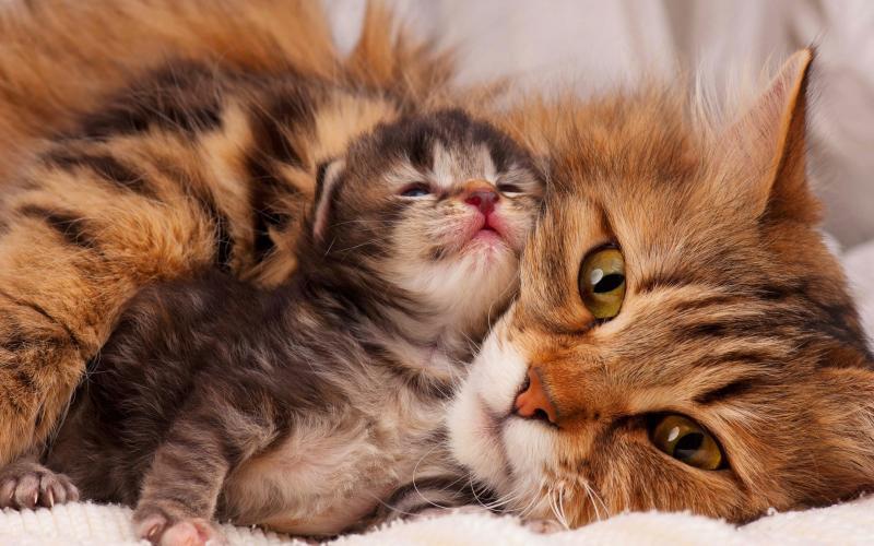 Беременность у кошки: что нужно знать хозяину