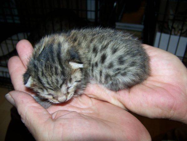 Новорождённый котёнок мау