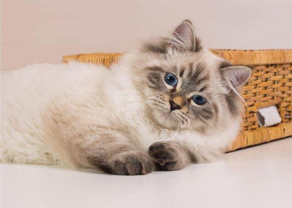 Невский маскарадный котёнок лежит около корзины